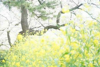 千鳥ヶ淵の桜 2021(11).jpg