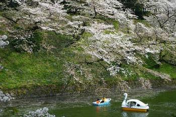 千鳥ヶ淵の桜 2021(8).jpg