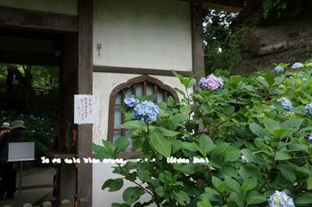 明月院の紫陽花2015(2).jpg