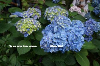 明月院の紫陽花2015(5).jpg
