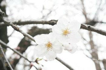 東京の桜2020(12).jpg