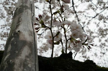 東京の桜2020(18).jpg