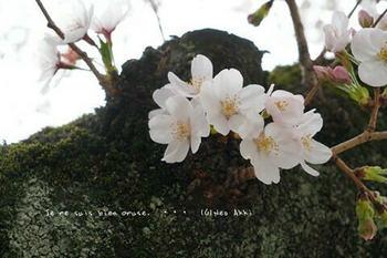 東京の桜2020(21).jpg