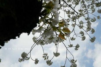東京の桜2020(22).jpg