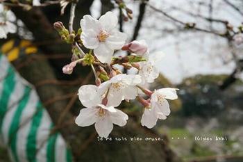 東京の桜2020(27).jpg