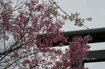 東京の桜2020(4).jpg