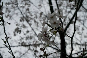 東京の桜2020(6).jpg