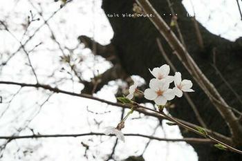 東京の桜2020(7).jpg