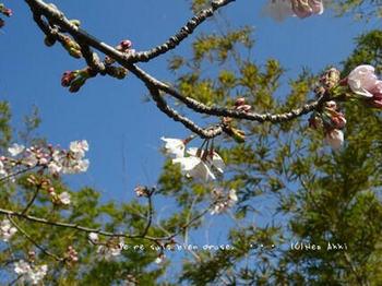 近くの桜 2021(1).jpg