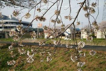 近くの桜 2021(13).jpg