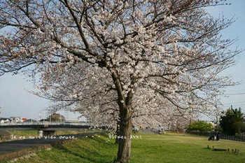 近くの桜 2021(15).jpg