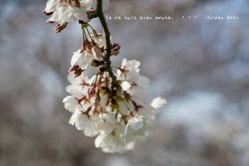 近くの桜 2021(16).jpg