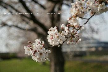 近くの桜 2021(18).jpg
