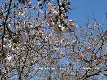 近くの桜 2021(2).jpg