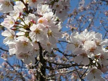 近くの桜 2021(4).jpg