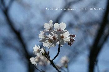 近くの桜 2021(6).jpg