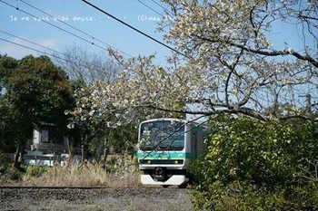 近くの桜 2021(7).jpg