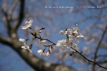 近くの桜 2021(9).jpg