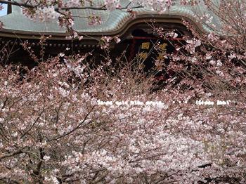 鎌倉の桜2016(番2).jpg