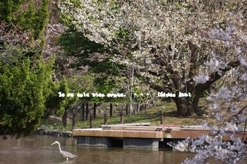 鎌倉の桜2016(15).jpg