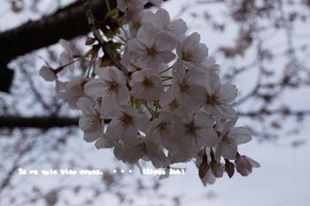 鎌倉の桜2016(25).jpg