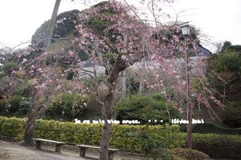 鎌倉の桜2016(27).jpg
