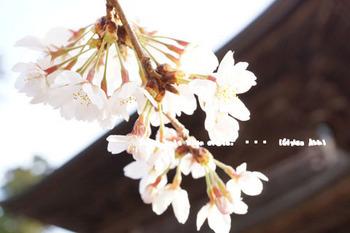 鎌倉の桜2016(41).jpg