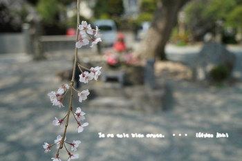 鎌倉の桜2018(2).jpg