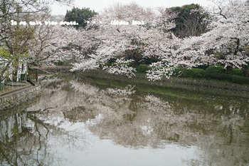 鎌倉の桜2018(27).jpg