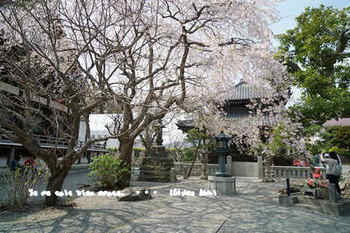 鎌倉の桜2018(3).jpg