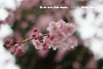 鎌倉の桜2018(41).jpg