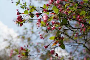 鎌倉の桜2019(10).jpg
