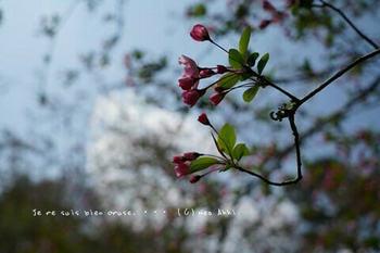 鎌倉の桜2019(11).jpg