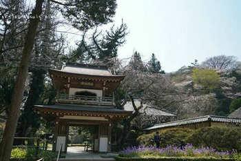 鎌倉の桜2019(13).jpg
