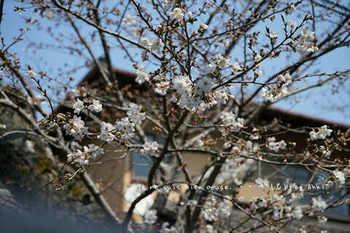 鎌倉の桜2019(15).jpg