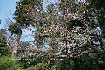 鎌倉の桜2019(2).jpg
