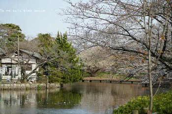 鎌倉の桜2019(27).jpg