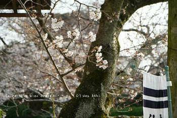 鎌倉の桜2019(31).jpg