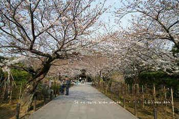 鎌倉の桜2019(37).jpg