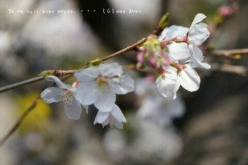 鎌倉の桜2019(4).jpg