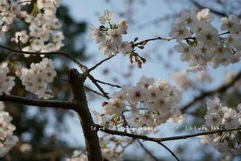 鎌倉の桜2019(40).jpg