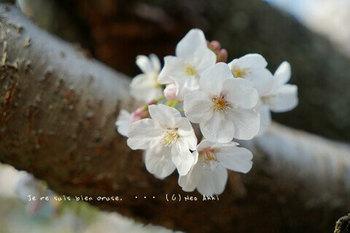 鎌倉の桜2019(41).jpg
