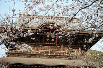 鎌倉の桜2019(44).jpg