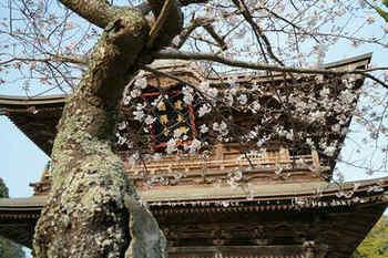 鎌倉の桜2019(46).jpg