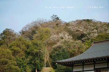鎌倉の桜2019(53).jpg